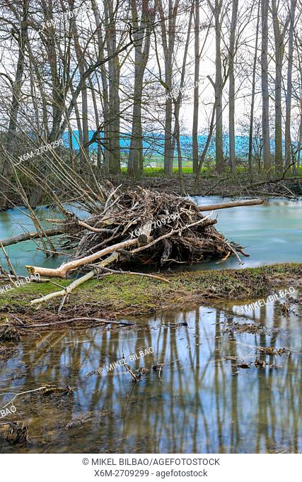 Poplar grove in Ega river. Murieta, Navarre. Spain, Europe