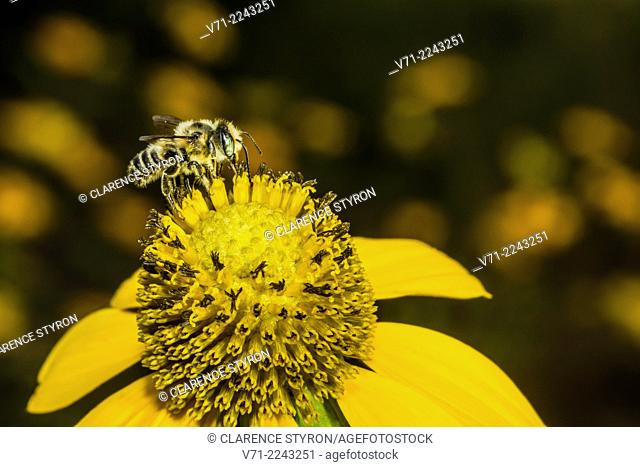 Leafcutting Bee (Megachile sp.) Feeding on Cutleaf Daisy (Engelmannia peristenia) Flower