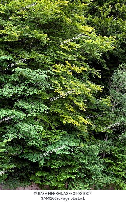 Hayedo en la Selva de Irati, Navarra, Spain