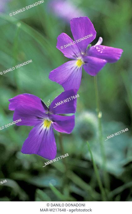viola culminis flowers