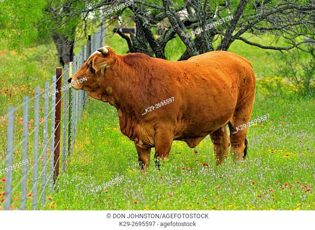 Simbragh cattle- breeding quality bull standing in a pasture of wildflowers, Llano County, Texas, USA