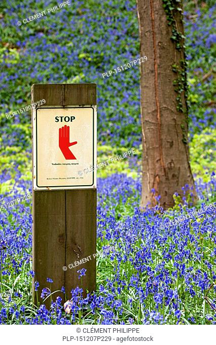 Stop sign prohibiting people from entering protected area with bluebells (Endymion nonscriptus) in flower at the Hallerbos / Halle forest in spring, Belgium
