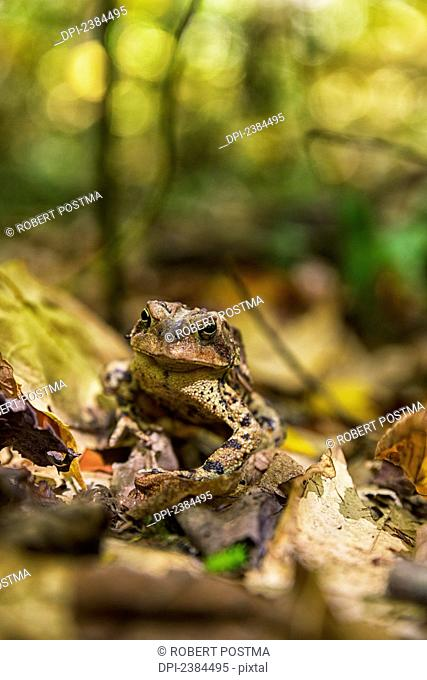 A frog sits on autumn coloured fallen leaves, Algonquin Provincial Park; Ontario, Canada