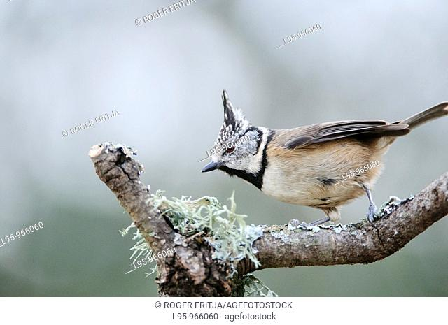Crested tit Parus cristatus, also known as Lophophanes cristatus in a Mediterranean Pine tree habitat