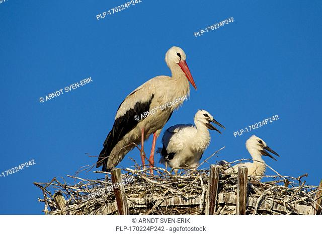 White stork (Ciconia ciconia) parent on man-made nest with two chicks