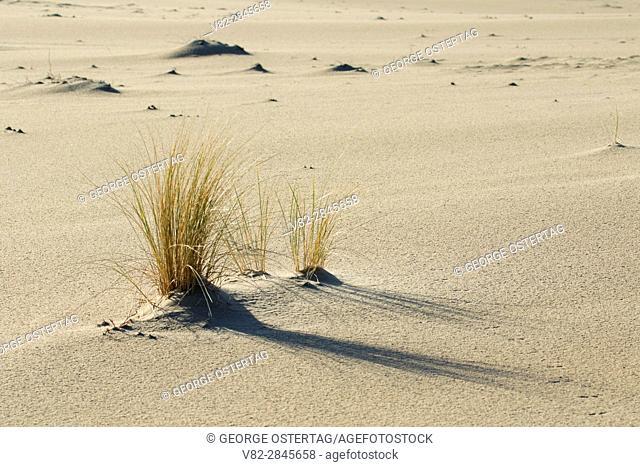 Dune grass along Carter Dune Trail, Oregon Dunes National Recreation Area, Oregon
