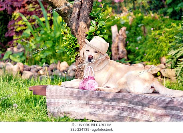 Labrador Retriever. Adult male lying on a sunlounger under an apple tree, wearing a hat. Germany