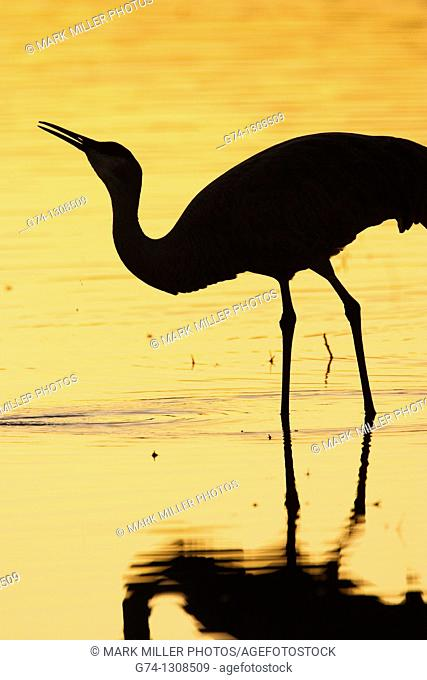 Sandhill Crane at Sunset Rocky Mountains USA