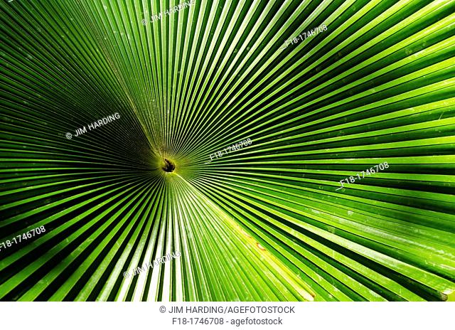 Patterns of palm frond, Sabah, East Malaysia