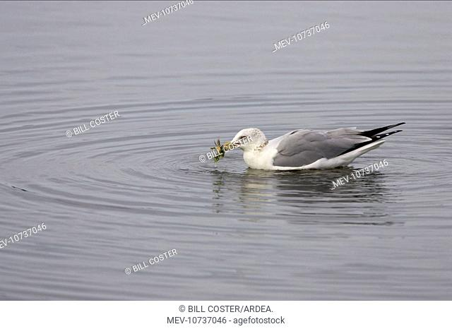 Ring-Billed Gull with crab (Larus delawarensis)