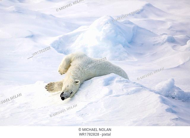Adult polar bear (Ursus maritimus) stretching on first year sea ice in Olga Strait, near Edgeoya, Svalbard, Arctic, Norway, Scandinavia, Europe