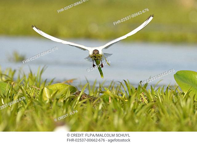 Black-headed Gull (Chroicocephalus ridibundus) adult, breeding plumage, in flight, with nesting material in beak, Danube Delta, Tulcea, Romania, May