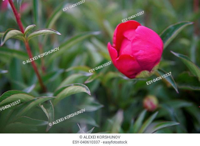 Beautiful Pink peony flowers Paeonia officinalis closeup