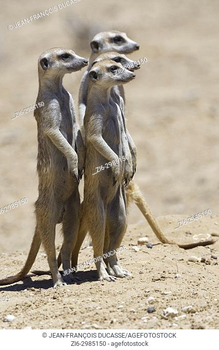 Standing meerkats (Suricata suricatta), on guard, Kgalagadi Transfrontier Park, Northern Cape, South Africa, Africa