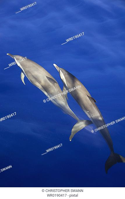 Spotted dolphin Stenella attenuata Two spotted dolphins showing their sometime more plain grey colouring Caribbean