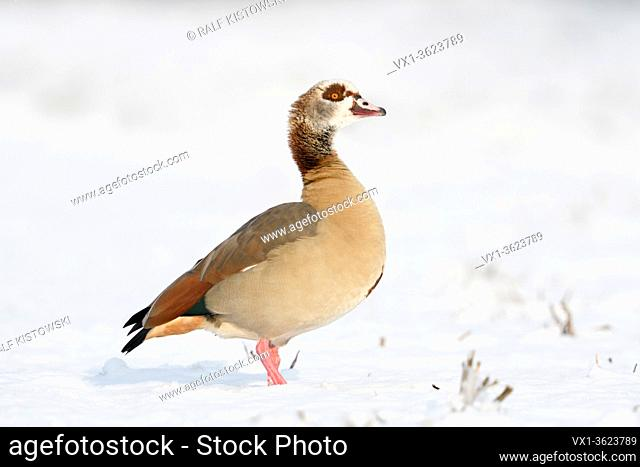 Egyptian Goose / Nilgans (Alopochen aegyptiacus) in winter, standing on farmland covered with fresh fallen snow, watching, looks proud, wildlife, Europe