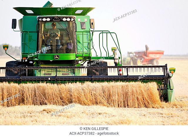 Combine harvesting wheat crop on Canadian Prairie. Near Winkler, Manitoba, Canada