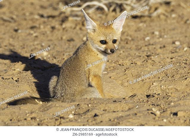 Cape fox (Vulpes chama), cub looking out from burrow entrance, evening light, Kgalagadi Transfrontier Park, Northern Cape, South Africa, Africa