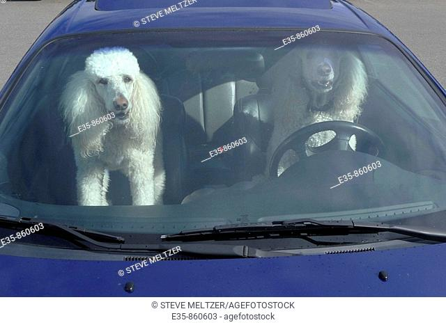 poodles dogs driving car  auto animals humor