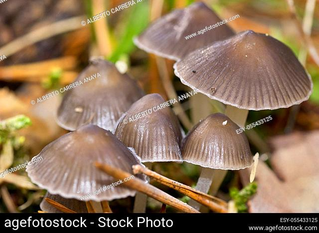 Mushrooms, Valsain Forest, Guadarrama National Park, Segovia, Castilla y León, Spain, Europe