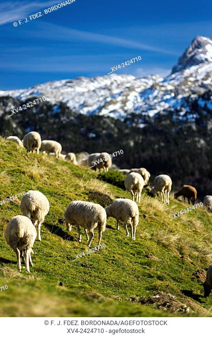 Sheeps standed in Larra Belagua area, Roncal Valley, Navarre Pyrenees, Spain