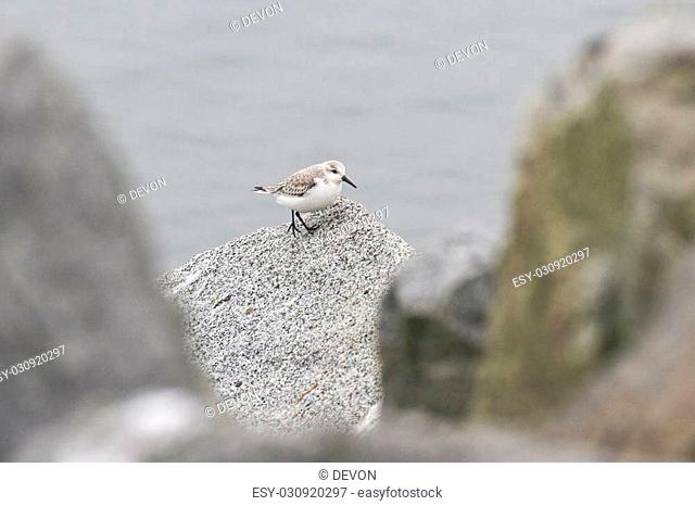 Sanderling in white rock BC Canada