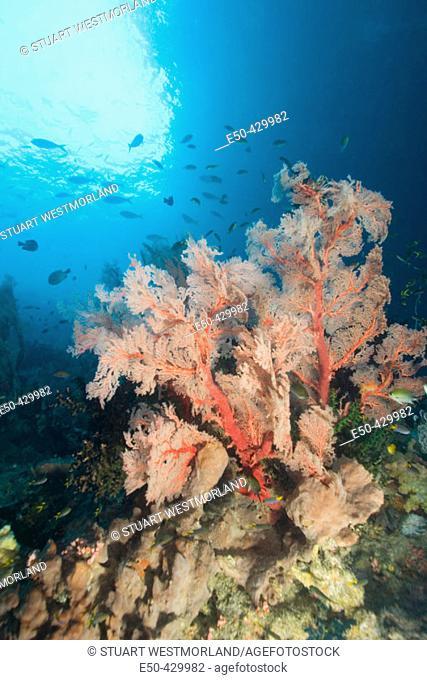 Large Sea Fan, schooling fish: fusiliers, anthias fish, and damselfish, Raja Ampat region of Papua (formerly Irian Jaya)