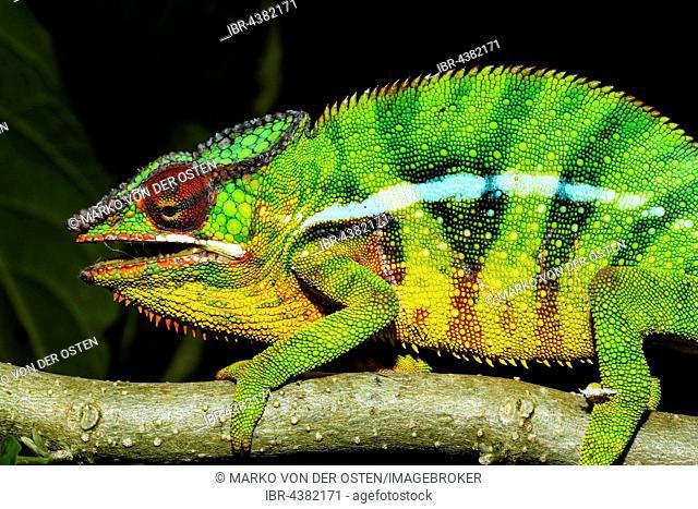 Male panther chameleon (Furcifer Pardalis), Ambohitra (Joffreville), Madagascar