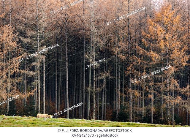 Forestry area near of Burguete village, Navarre, Spain