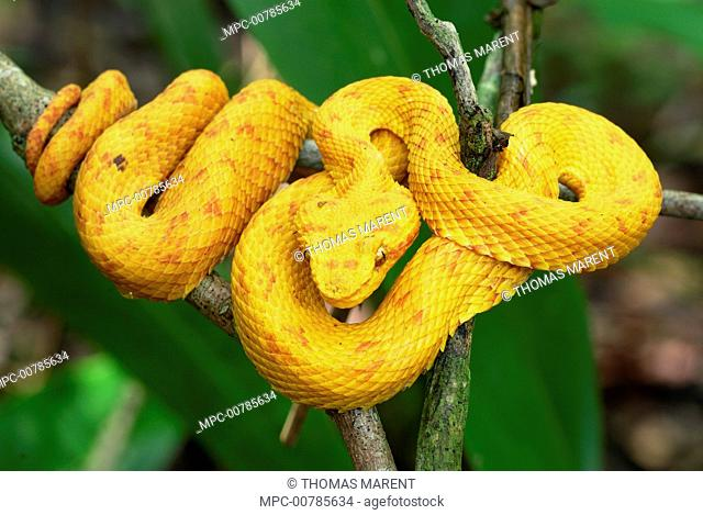 Eyelash Viper (Bothriechis schlegelii) with yellow coloration, coiled on branch, Cahuita National Park, Costa Rica
