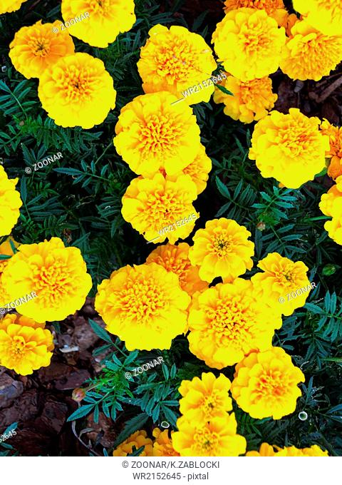 Yellow flowers in the garden. Marigold tagetes
