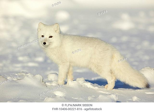 Arctic Fox (Vulpes lagopus) adult, in winter coat, standing on snowfield, Churchill, Manitoba, Canada, November