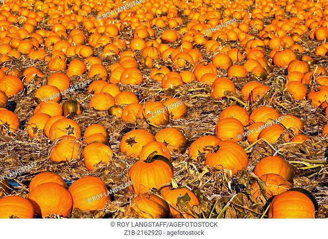 A field of orange Pumpkins ready for Halloween