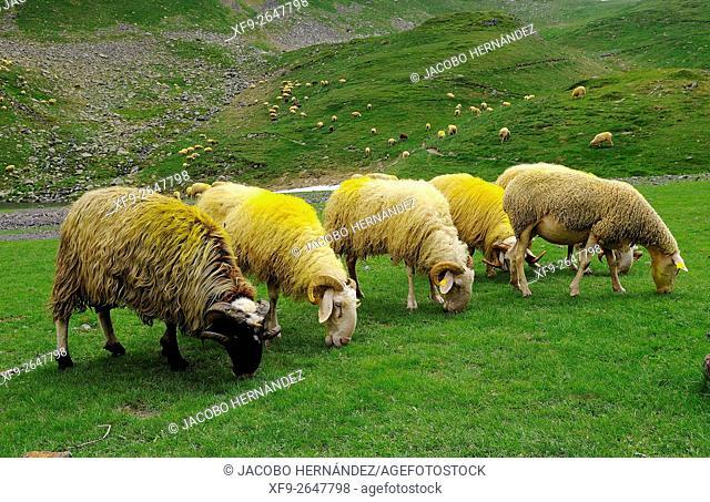 Flock of sheep.Pirineos Mountains.France