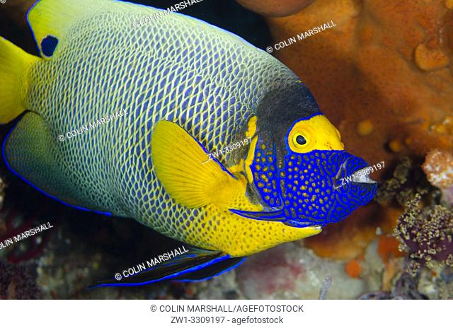 Yellowmask Angelfish (Pomacanthus xanthometopon), Whale Rock dive site, Fiabacet Island, Misool, Raja Ampat, Indonesia