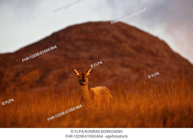 Red Deer (Cervus elaphus) hind, standing on moorland in morning sunlight, with Beinn Shiantaidh, Paps of Jura in background, Isle of Jura, Inner Hebrides
