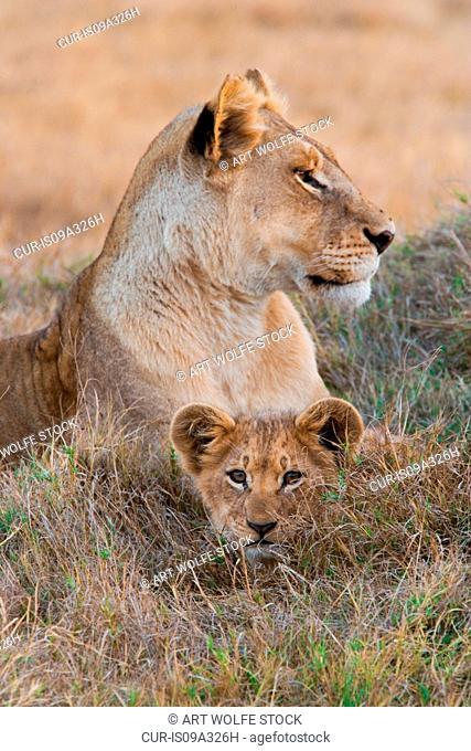 Lion and cub, Okavango Delta, Botswana