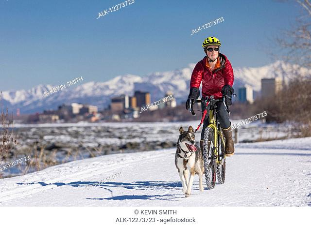 A Young Woman rides a studded tire bicycle with her Alaskan Husky down the Tony Knowles Coastal Trail, Anchorage, Southcentral Alaska, USA