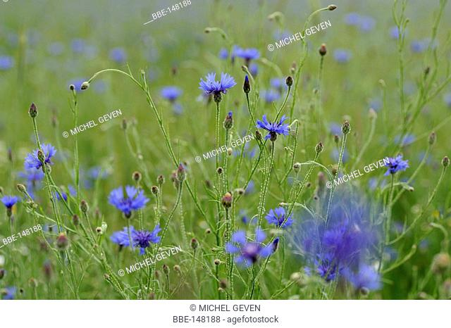 Wheatfield covered with Cornflowers moving in the wind