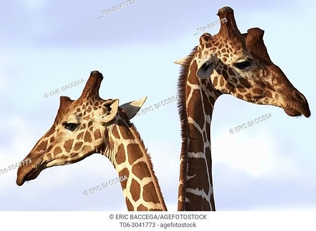 Two reticulated giraffe {Giraffa camelopardalis reticulata} head and necks, Samburu National Reserve, Kenya, Africa