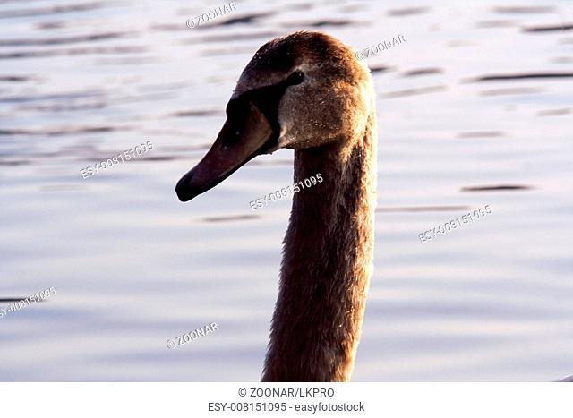 front of little white swan  black eye