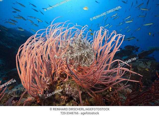 Whip Coral in Coral Reef, Ellisella ceratophyta, Tufi, Solomon Sea, Papua New Guinea