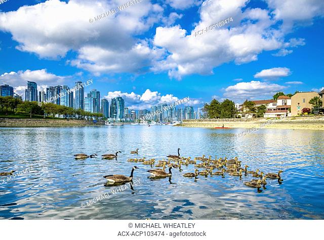 Canada Geese, False Creek, Vancouver, British Columbia, Canada