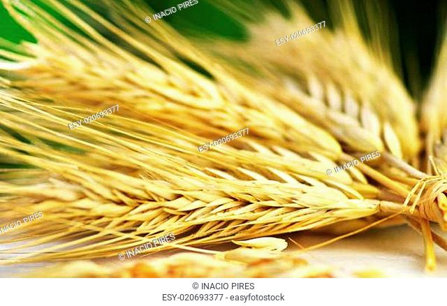 Bundle of Wheat spikes