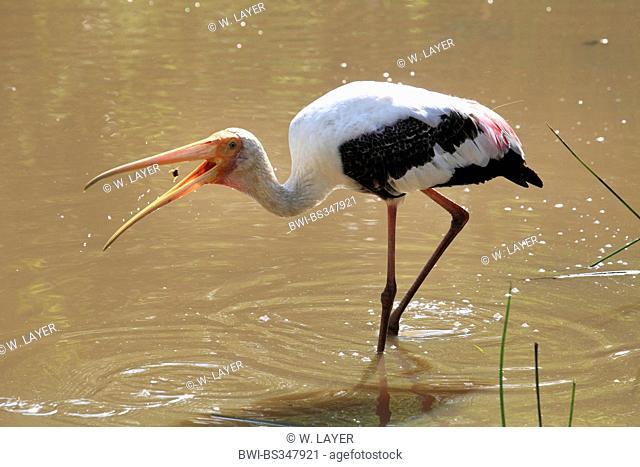 painted stork (Mycteria leucocephala, Ibis leucocephalus), caught prey, Sri Lanka, Yala National Park
