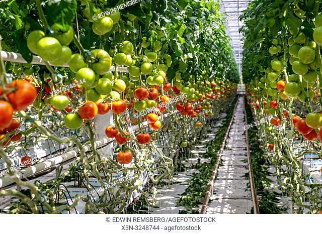 Looking down row of hydroponically grown tomatoes in greenhouse, Kutno, ŠódŠº Voivodeship, Poland
