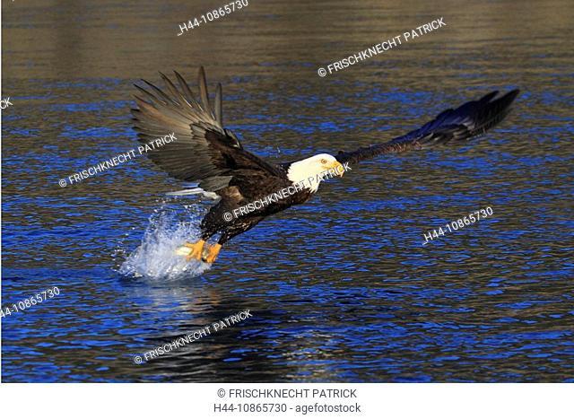 Weisskopfseeadler, Haliaeetus leucocephalus, Bald Eagle, Homer, Kenai Halbinsel, Alaska, USA