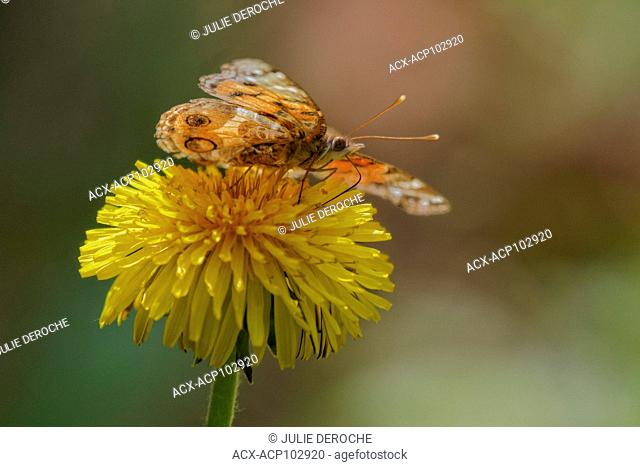 American Painted lady, flower, Ontario, Canada