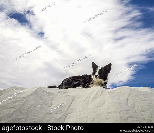 Border collie dog sitting on top of sand dunes at White Sands National Park, New Mexico, New Mexico
