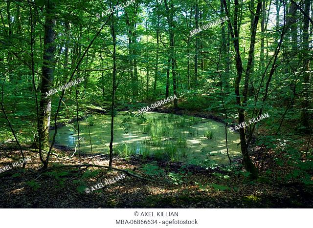 small pond in the forest with green broad-leaved trees and sunrays